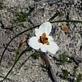 Moraea cantharophila, Cameron McMaster