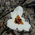 Moraea cantharophila, Cameron McMaster [Shift+click to enlarge, Click to go to wiki entry]