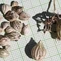 Moraea ciliata corms, M. Gastil-Buhl