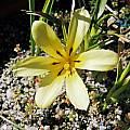 Moraea citrina, Alan Horstmann [Shift+click to enlarge, Click to go to wiki entry]