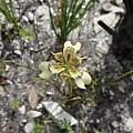 Moraea deltoidea, Liz Hutton, iNaturalist, CC BY-NC