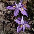 Moraea exiliflora, J and A Vlok