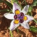 Moraea falcifolia, Brian du Preez [Shift+click to enlarge, Click to go to wiki entry]