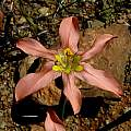 Moraea fenestrata, Middelpos, Camerom McMaster [Shift+click to enlarge, Click to go to wiki entry]