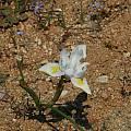 Moraea fugax, plant, Namaqualand, Mary Sue Ittner