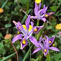 Moraea fugax, Mary Sue Ittner [Shift+click to enlarge, Click to go to wiki entry]