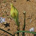 Moraea fugax bud, Namaqualand, Bob Rutemoeller