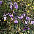 Moraea grandis, Calvinia, Mary Sue Ittner
