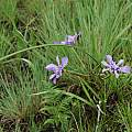 Moraea inclinata, Satansnek, Mary Sue Ittner