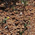 Moraea inconspicua, Namaqualand, Mary Sue Ittner