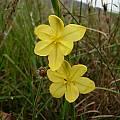 Moraea lewisiae, Caledon, Cameron McMaster