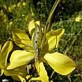 Moraea lewisiae ssp. secunda, Cameron McMaster