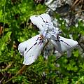Moraea longiaristata, Cameron McMaster [Shift+click to enlarge, Click to go to wiki entry]