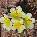 Moraea luteoalba, Craig Peter, iNaturalist, CC BY-NC