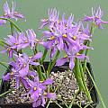 Moraea macrocarpa, Audrey Cain
