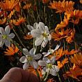 Moraea miniata, Namaqualand, Bob Rutemoeller