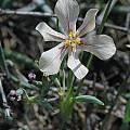 Moraea nana, Namaqualand, Bob Rutemoeller