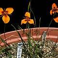 Moraea neopavonia, Bob Werra