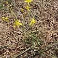 Moraea pallida, Jane Trembath, iNaturalist, CC BY-NC
