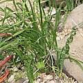 Moraea pritzeliana, UC Botanical Garden, Nhu Nguyen