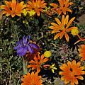 Moraea pritzeliana, Calvinia, Mary Sue Ittner