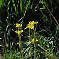 Moraea spathulata, Kirstenbosch, Mary Sue Ittner