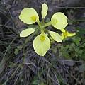 Moraea thomasiae, Little Karoo, Bob Rutemoeller