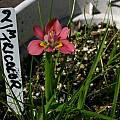 Moraea tricolor, Bob Werra