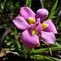 Moraea tricolor, Cameron McMaster