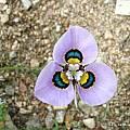 Moraea pendula, UC Botanical Garden