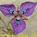 Moraea 'Zoe', Bill Dijk