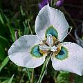 Moraea villosa, Mary Wise