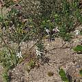 Moraea viscaria, Felix Riegel, iNaturalist, CC BY-NC
