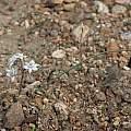 Muilla coronata, Jim Morefield, iNaturalist, CC BY-NC