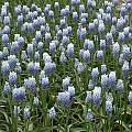 Muscari armeniacum 'Peppermint', Martin Philippo