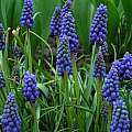 Muscari armeniacum, Janos Agoston