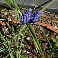 Muscari armeniacum 'Canteb', Mary Sue Ittner