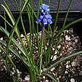 Muscari aucheri, Mary Sue Ittner