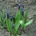 Muscari latifolium, Janos Agoston