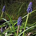 Muscari neglectum, Mary Sue Ittner