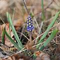 Muscari botryoides, Tom Mitchell