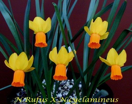 BULBOS: Ficha 7: NARCISO Narcissus_rufusXcyclamineus