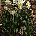Narcissus 'Aspasia', Jay Yourch