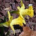 Narcissus 'Bowles Early Sulphur', John Lonsdale