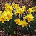 Narcissus 'Brackenhurst', Jay Yourch
