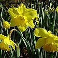 Narcissus 'Carlton', Jay Yourch