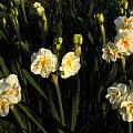 Narcissus 'Cheerfulness' Group, Jay Yourch