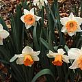Narcissus 'Chromacolor', Jay Yourch