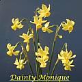 Narcissus 'Dainty Monique', Bill Dijk