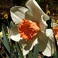 Narcissus 'Decoy', Jay Yourch